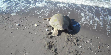 Water Turtle Returns To The Sea